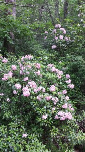 2015 mountain laurel