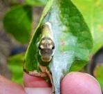 spicebush larva