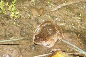 nicaragua-frog