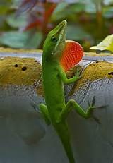 Dewlap on a lizard