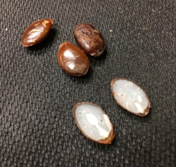 persimmon seeds